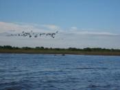 cormorants at Preak Toal