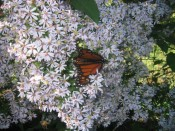 monarch butterfly on wild aster