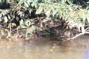 larger caiman