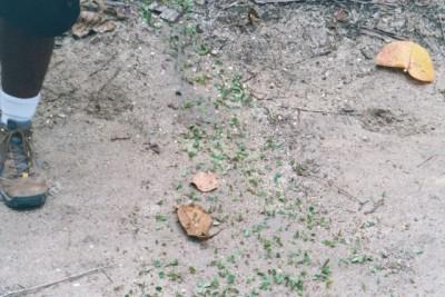 leafcutter ants, Cahuita refuge