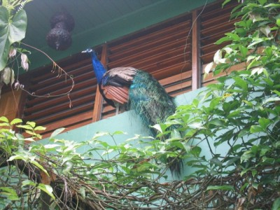Papillote's spectacular male peacock hanging outside one of the rooms