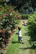 Picking blackberries.