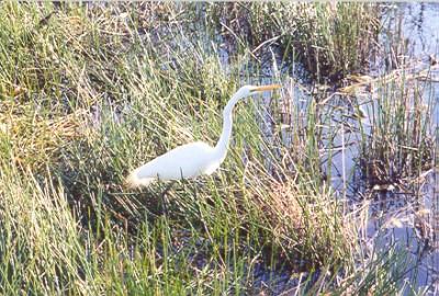 egret on the Anhinga Trail (Everglades), Flamingo, FL