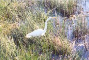 egret on the Anhinga Trail (Everglades), Flamingo, FL