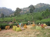 tea pluckers in Munnar