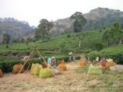 tea pluckers in Munnar