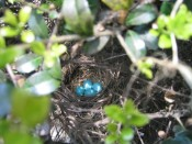 a robin's nest, complete with eggs, in one of our hollies.  (the babies hatched and flew off.)