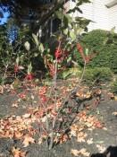 winterberry holly (Ilex verticillata 'Sparkleberry'). fall 2005