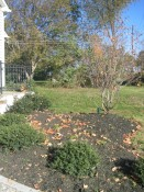 japanese hollies (Ilex crenata 'Soft Touch'), blue hollies, serviceberry (Amelanchier lamarckii). fall 2005