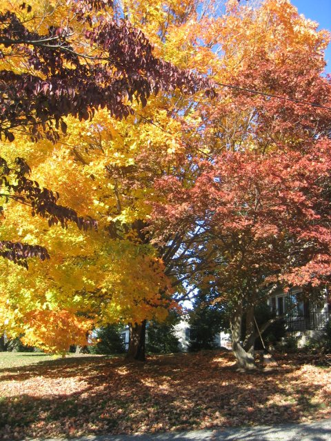 our sugar maples (Acer saccharum) in fall colors
