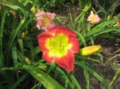 Daylily (Hemerocallis) 'Christmas Is'