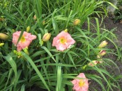 Daylily (Hemerocallis) 'Jedi Dot Pierce'