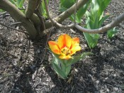 another Dutch tulip from our friend