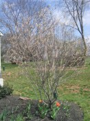 serviceberry (Amelanchier lamarckii). spring 2006