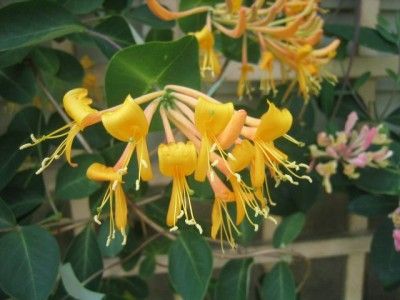 honeysuckle (Lonicera sempervirens--not sure which cultivar. 'John Clayton?'  'Sulphurea?')