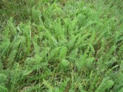 some kind of adorable, miniature yarrow in my (chemical-free) lawn