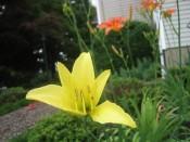 daylily (variety TBD)