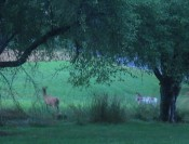 finally, proof of our albino deer (picture is fuzzy because of poor light conditions plus zoom)