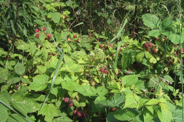 our wild raspberries