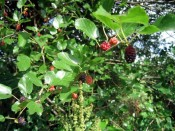 our mulberry tree