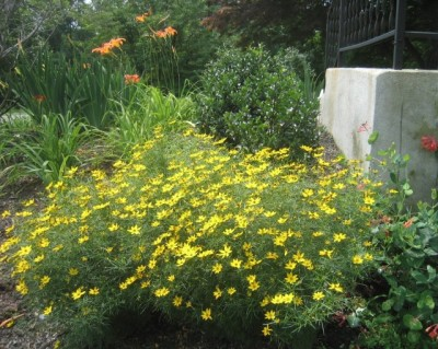Coreopsis & Co.