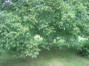 our lovely English Walnut tree