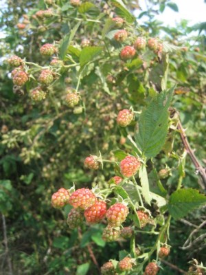 our [invasive] wild blackberries (not yet ripe)
