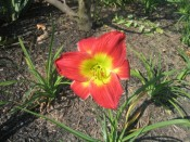 daylily (Hemerocallis 'Christmas Is')