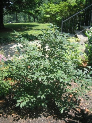 winterberry holly (Ilex verticillata 'Sparkleberry').  July 2006