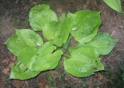 Hosta 'Sum and Substance', possibly infected with Hosta Virus X (HVX)