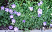 bellflower (Campanula carpatica 'Blue Clips')
