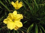 Daylily - yellow