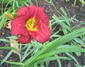 daylily (Hemerocallis 'Pardon Me')