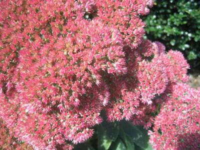 Sedum 'Autumn Joy' close-up