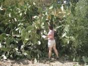 looking for sabra fruit