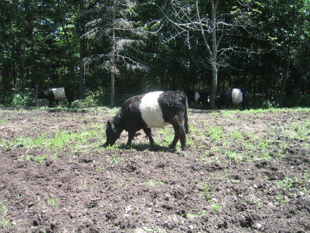 the adorable Belted Galloways of Rockport