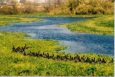 a raft of coots near Eureka, CA (no hazard)