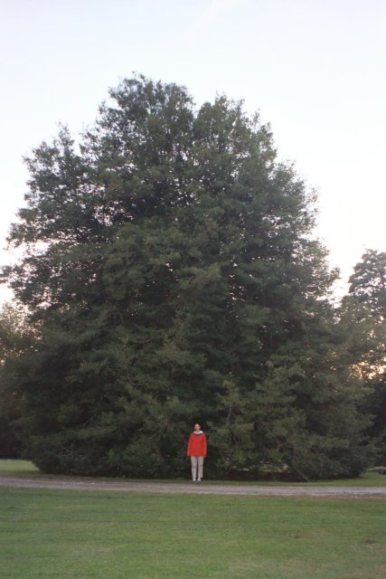 the largest holly in maryland