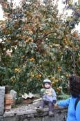 Persimmon tree in Tomaj